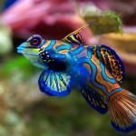 Blue-mandarin-fish-saltwater-aquarium-Desktop-Wallpaper