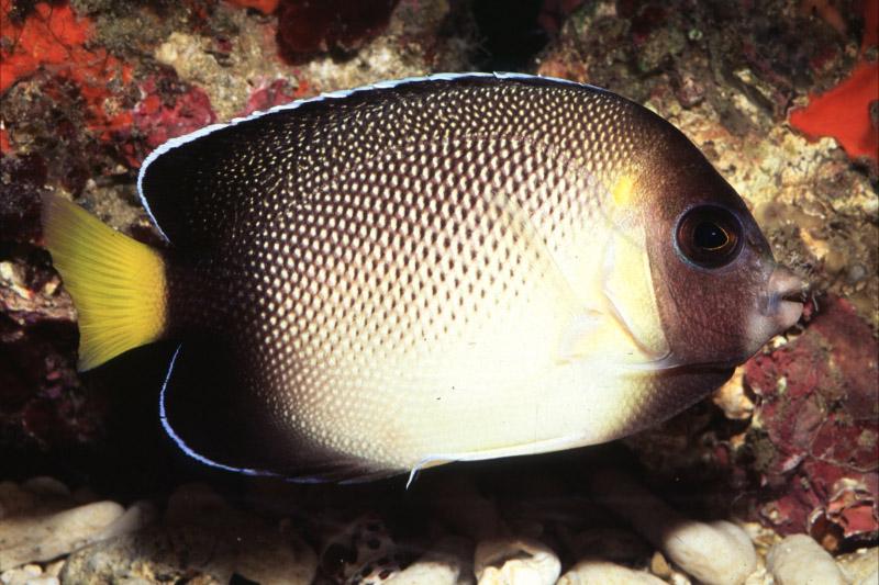 Seascapes queenangelfish juveline regal angelfish smokeangel publicscrutiny Gallery