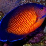 coral beauty angle