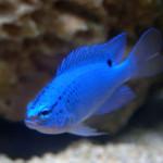electric-blue-damsel-fish