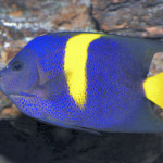 ArabianAngelfish