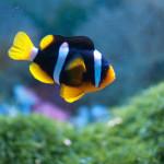 Clarkii-Clownfish