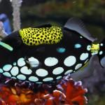 Clown-Triggerfish