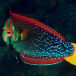 Coris gaimard - Roodstreeplipvis