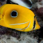 Eye spot butterfly fishes