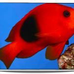 Fire_Clownfish_Pet_Fish_for_Sale_www.petfishforsale.com__14313.1459537462.500.659