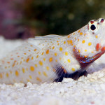 Gold spoted goby