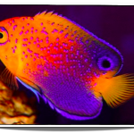 Interruptus_Dwarf_Angelfish_for_sale_Pet_Fish_for_Sale_www.petfishforsale.com__15168.1460660631.500.659