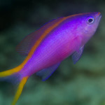 Acclimating Anthias to aquarium life Anthias, Basics, Marquee-lite ...