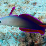 Purple flame goby