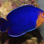 Pygmy (Cherub) Angelfish-H