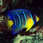 QueenAngelfish juveline