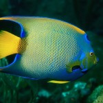 adult-queen-angelfish
