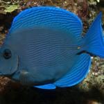 atlantic-blue-tang-acanthurus-coeruleus-1