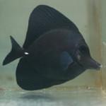 black-longnose-tang-2-2-5-14