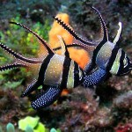 cardinalfish_pair