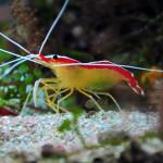 cleaner_shrimp_w_eggs