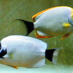 masked-angelfish