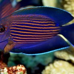 orange-stripe-bristletooth-tang-ctenochaetus-cf-striatus-1
