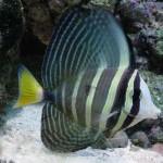 pasific sailfin tang