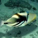 picasso-trigger-fish