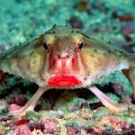 red-lipped-batfish.0.0
