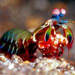 squille-multicolore