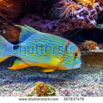 stock-photo-colorful-tropical-exotic-fish-swimming-among-reefs-close-to-the-bottom-367837478