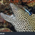 stock-photo-honeycomb-moray-eel-gymnothorax-favagineus-with-cleaner-fish-144612548