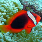 suddel blacktomato-clownfish