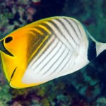 threadfin_butterflyfish