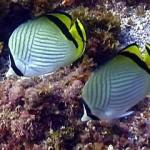 vagabond_butterflyfish