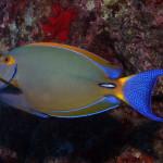 whitespine-surgeonfish_mike-bartick