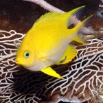 yellow damsel fish