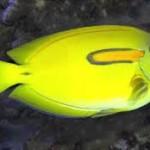 yellow orange sholder tang